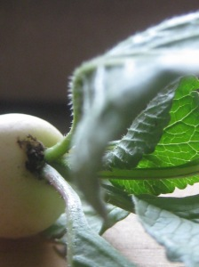 Don't be fooled by those fuzzy leaves.  Radish leaves are not only edible, they're tender, quick-cooking, and delicious.